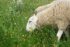 Овцы пася в луге Стоковое Фото
