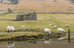 Овцы пася в участках земли Йоркшира Стоковые Изображения RF
