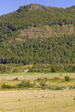 Овцы пася в Araucania, Чили Стоковые Изображения RF