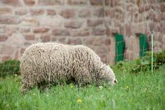 овцы пася в meadowportrait овец пася в луге Стоковые Фотографии RF