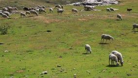 Овцы пася видеоматериал