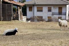 овцы пася домом Стоковое Изображение RF