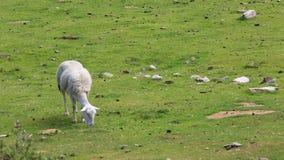 Овцы пася - замедленное движение видеоматериал
