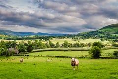 Овцы пася на выгоне в озере район, Англии Стоковое фото RF