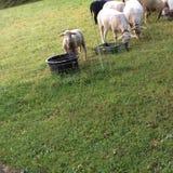 Овцы пася на выгоне Стоковое фото RF