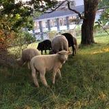 Овцы пася на выгоне Стоковые Изображения RF