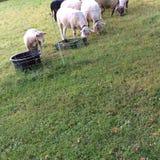 Овцы пася на выгоне Стоковое Изображение RF