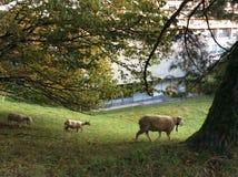 Овцы пася на выгоне Стоковое Фото