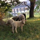 Овцы пася на выгоне Стоковые Фотографии RF