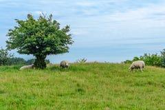 Овцы пася на выгоне Стоковая Фотография RF