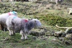 Овцы пася на горном склоне Стоковые Изображения RF