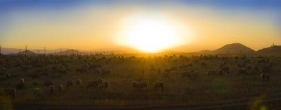 Овцы пася на заходе солнца Стоковые Изображения