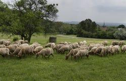Овцы пася на зеленой траве Стоковое Изображение