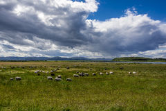 Овцы пася на зеленом выгоне Стоковые Изображения RF