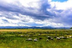 Овцы пася на зеленом выгоне Стоковое фото RF