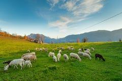 Овцы пася на итальянских Альпах Стоковые Изображения RF