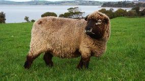 Овцы пася на симпатичном зеленом выгоне Стоковое Изображение RF