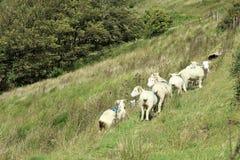 Овцы пася на Exmoor Стоковые Изображения