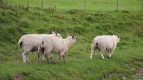 Овцы пася около Trefriw, северное Уэльс сток-видео