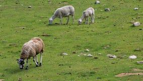 Овцы пася сток-видео