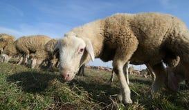 Овцы пася лужайку с большим стадом овец пася Стоковые Изображения RF