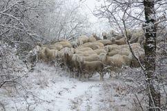 Овцы пася Стоковое Фото