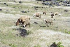 Овцы пася Стоковые Изображения RF