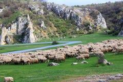 Овцы пася Стоковые Фото