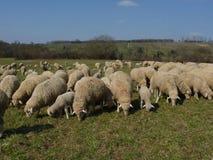 Овцы перед виноградником стоковое фото rf