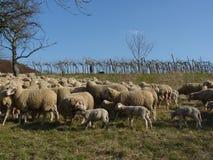 Овцы перед виноградником стоковая фотография