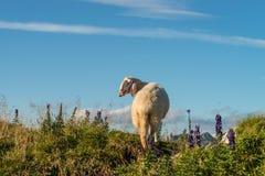 Овцы перед голубым небом Стоковые Изображения RF