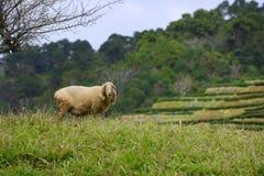 Овцы под сливой Стоковые Фото