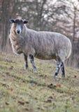 овцы портрета холма стояли Стоковая Фотография