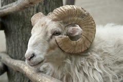 овцы портрета Стоковые Изображения