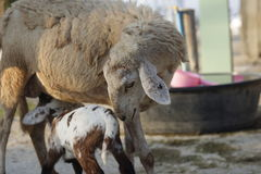 Овцы подавая ее овечка Стоковое Фото
