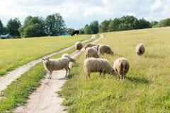овцы поля Стоковая Фотография