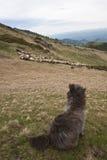 овцы предохранителя Стоковая Фотография RF