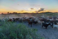 Овцы привода чабанов Стоковое Изображение