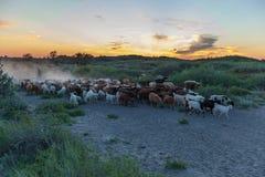 Овцы привода чабанов Стоковые Фото