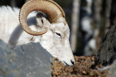 овцы профиля dahl стоковая фотография rf