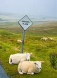 Овцы проходя место Стоковые Фотографии RF