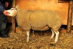 овцы родословной стоковое изображение rf
