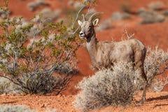 Овцы рожка пустыни большие в пустыне Мохаве Стоковое Изображение