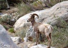 Овцы рожка Borrego большие - овца Стоковое фото RF