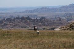 Овцы рожка Sig Стоковое фото RF