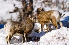 овцы рожочка младенца большие Стоковая Фотография