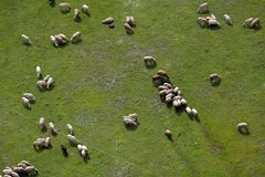 овцы сельскохозяйственнй угодье Стоковые Фото