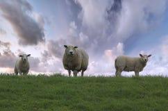 овцы семьи Стоковое Изображение RF