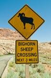 овцы скрещивания bighorn Стоковые Изображения