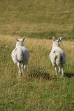 Овцы смотря вперед стоковые изображения